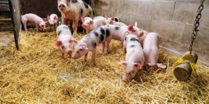 Vorsteuerabzug: Ist er bei der Veräußerung eines Sauenbestands zulässig? - ECOVIS Agrar - Steuerberater, Rechtsanwälte, Unternehmensberater