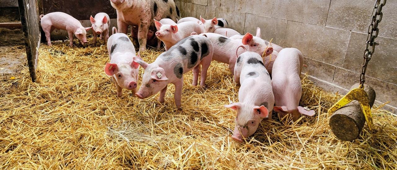 Wie viele Tiere dürfen Landwirte halten? Ecovis im Bayerischen Rundfunk