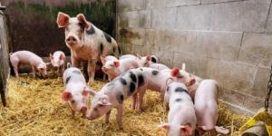 Flüssigfutter für Schweine anmischen: Welcher Steuersatz gilt hier? - ECOVIS Agrar - Steuerberater, Rechtsanwälte, Unternehmensberater